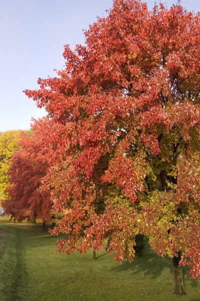 Sienna Glen Maple Photo courtesy Bailey Nurseries, Inc