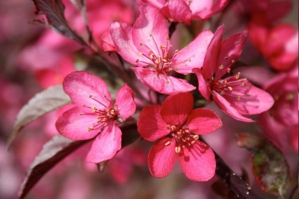 Crabapple Royal Raindrops Photo courtesy Bailey Nurseries, Inc