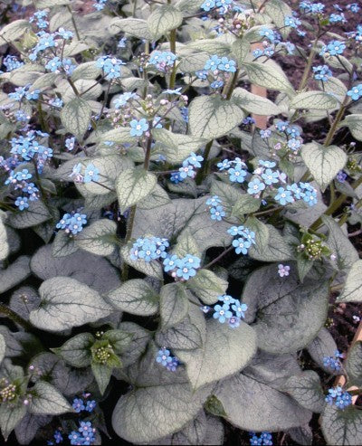 Brunnera macrophylla 'Looking glass'  photo courtesy of Bailey Nurseries