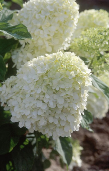 Limelight hydrangea photo courtesy Bailey Nurseries
