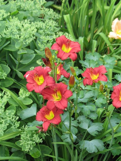 Ruby Stella daylily flowers photo courtesy of Bailey Nurseries Inc