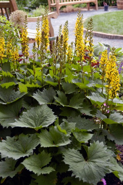 Ligularia Little Rocket photo courtesy of Bailey Nurseries