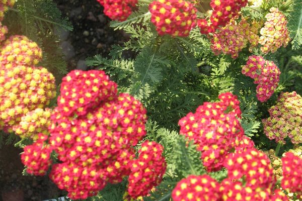 Achillea Strawberry Seduction Photo courtesy of Bailey Nurseries
