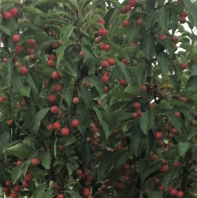 Crabapple-Adirondack red berries