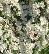 Crabapple-Adirondack white flowers