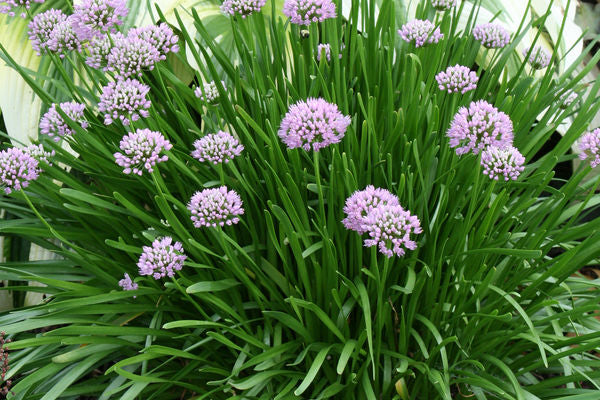 Allium Summer Beauty, 1 gallon