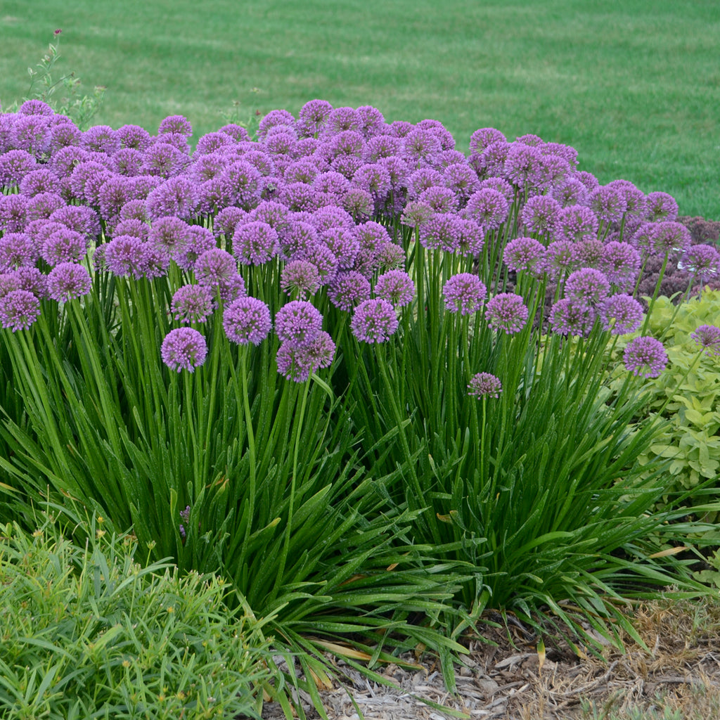 Allium Millenium Photo courtesy of Walters Gardens