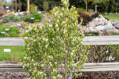 Serviceberry Standing Ovation photo courtesy of Bailey Nurseries, Inc