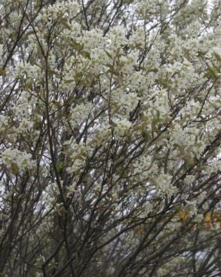 Shadblow serviceberry For Sale | Shop Stuart's-Photo courtesy of Bailey Nusery