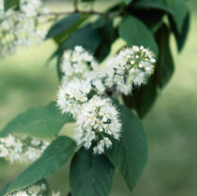 Amur Chokecherry Flowers Photo courtesy of Bailey Nurseries