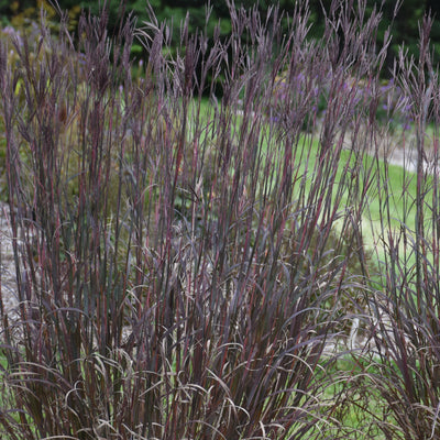 "Andropogon gerardi ""Blackhawks"" Photo courtesy of Walters Gardens"