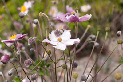 Anemone vitifolia 'Robustissima' Photo courtesy Bailey Nurseries, Inc