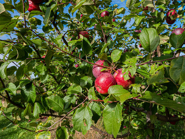 McIntosh Apple Tree for sale | Shop Stuart's