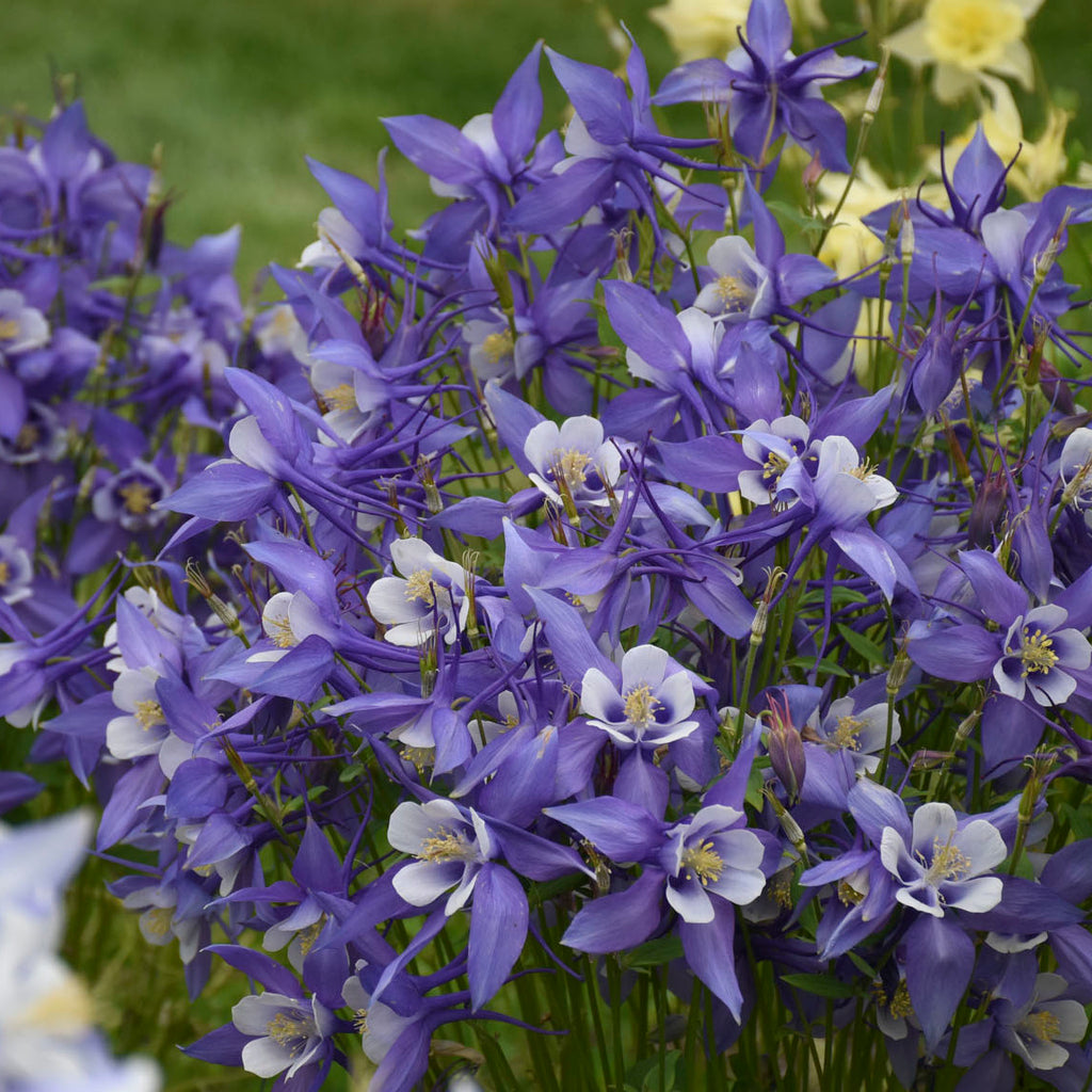 Aquilegia 'Kirigami blue and white' Photo credit and courtesy of Walters Gardesn