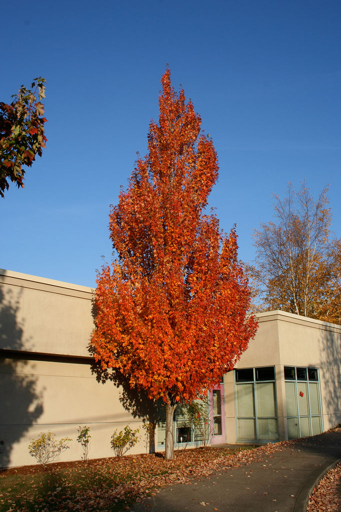 Armstrong Maple fall color, Photo courtesy and credit of J. Frank Schmidt & Son Co.