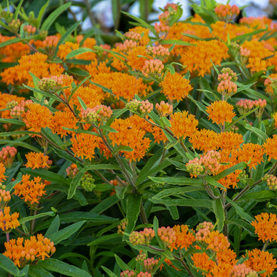 Asclepias tuberosa Photo courtesy of Walters Gardens