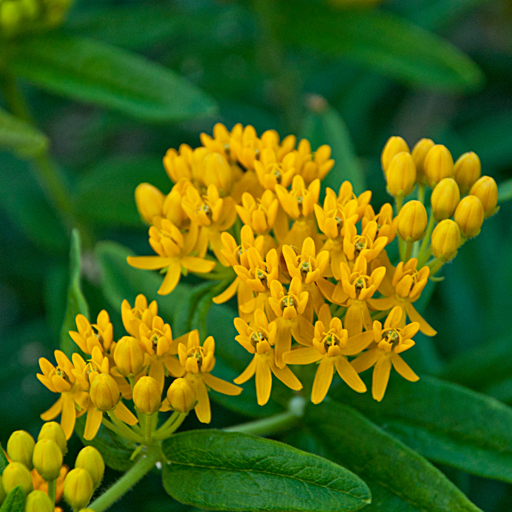 "Asclepias tuberosa ""Hello Yellow"", 1 gallon"