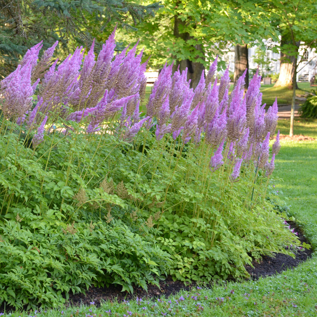 Astilbe Purple Candles Photo courtesy of Walters Gardens Inc.