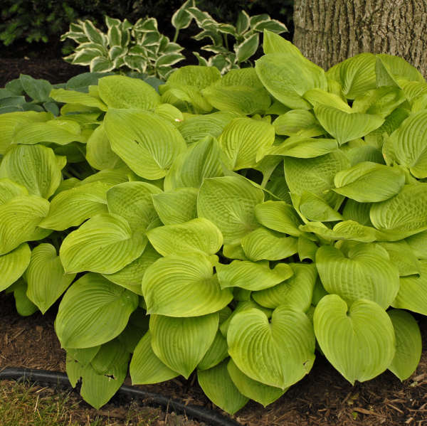 August Moon Hosta photo courtesy of Walters Gardens