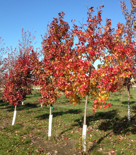 Autumn Blaze Pear For Sale | Shop Stuart's