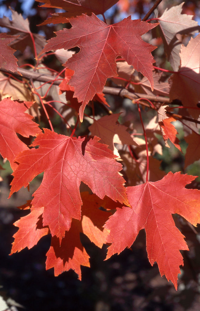 Autumn Fantasy Maple fall color, Photo courtesy and credit of J. Frank Schmidt & Son Co.