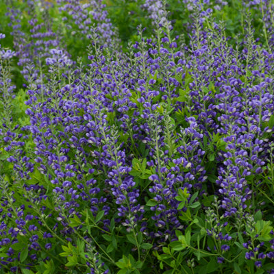Baptisia Blueberry Sundae Photo courtesy of Walters Gardens Inc.