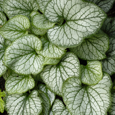 Brunnera Jack Frost Photo courtesy of Walters Gardens, Inc