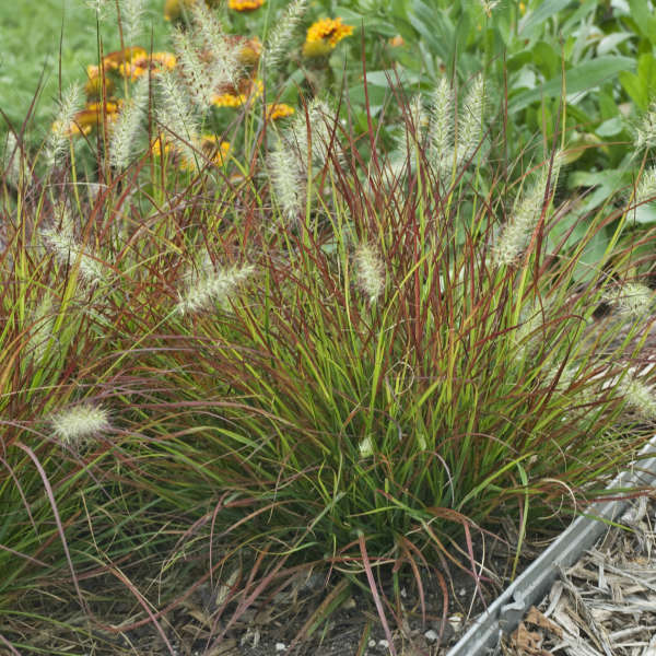 Burgundy Bunny grass Photo courtesy of Walters Gardens, Inc.