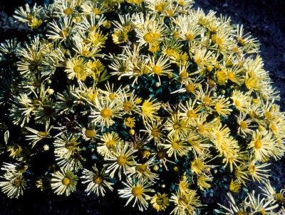 Mammoth 'Yellow Quill' Daisy mum photo courtesy of Bailey Nurseries