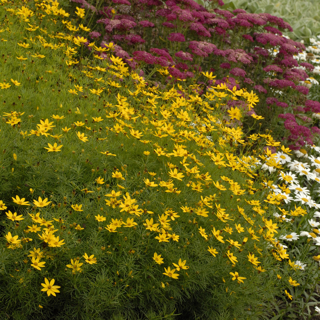 Coreopsis Zargreb Photo courtesy of Walters Gardens Inc.