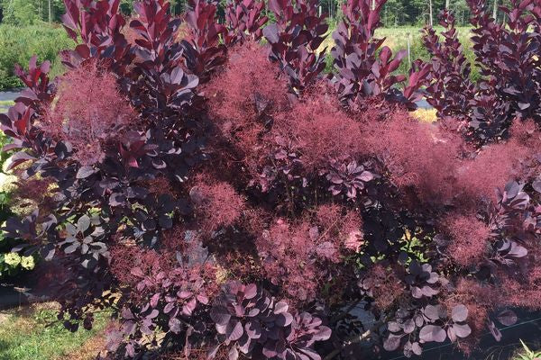 Smokebush Winecraft Black Photo courtesy of Bailey Nurseries