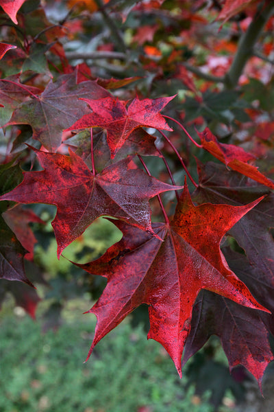 Maple Crimson Sunset fall foliage, Photo courtesy and credit of J. Frank Schmidt & Son Co.