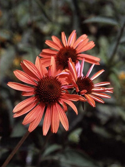 Echinacea-Coneflower 'Big Sky Sundown' Photo courtesy of Bailey Nurseries