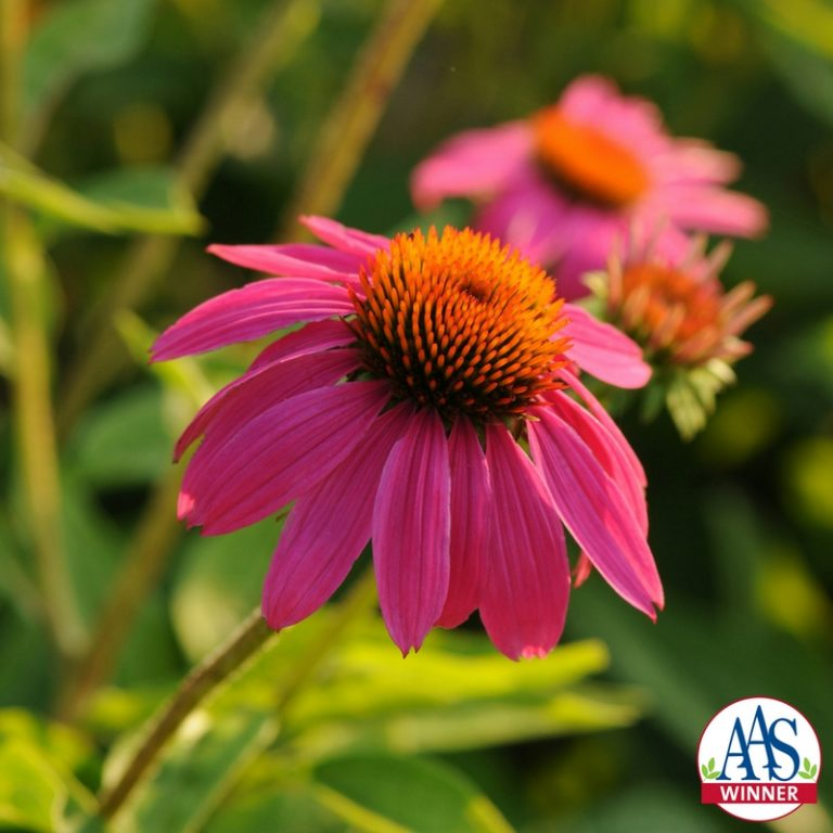 Echinacea Pow Wow Wild berry photo courtesy of All-America Selections