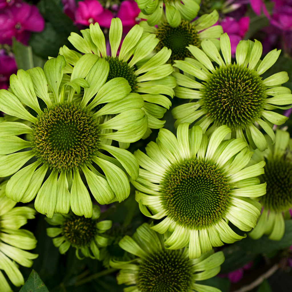 Echinacea-Coneflower 'Green Jewel'