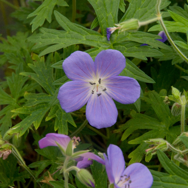 Geranium 'Brookside' Photo courtesy of Walters Gardens Inc.