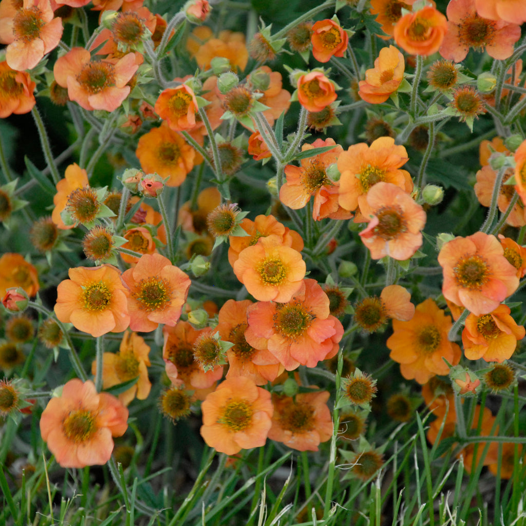 Geum Totally Tangerine Photo courtesy of Walters Gardens Inc.