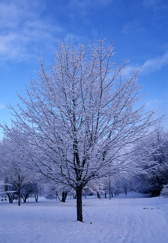 Green Mountain Sugar Maple winter, Photo courtesy and credit of J. Frank Schmidt & Son Co.