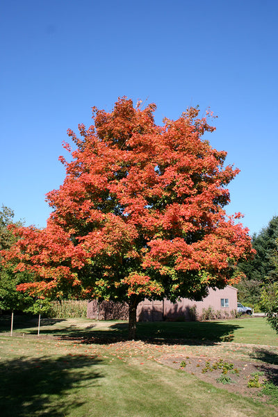 Green Mountain Sugar Maple fall color, Photo courtesy and credit of J. Frank Schmidt & Son Co.