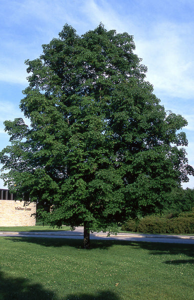 Green Mountain Sugar Maple, Photo courtesy and credit of J. Frank Schmidt & Son Co.