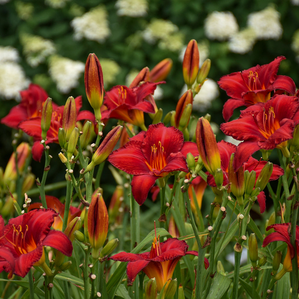 "Hemerocallis ""Chicago Apache"" Photo courtesy of Walters Gardens"