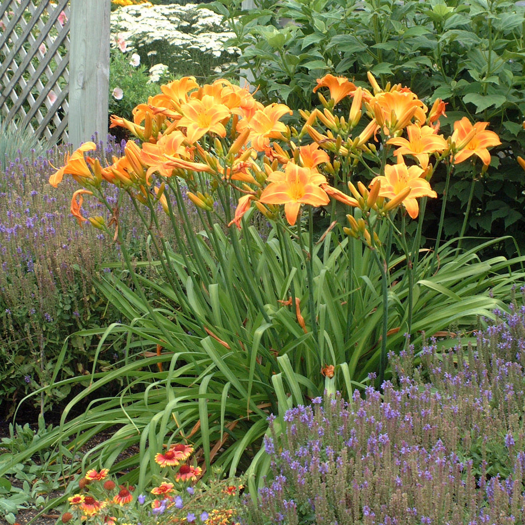 "Hemerocallis ""Rocket City"" Photo Courtesy Of Walters Gardens"