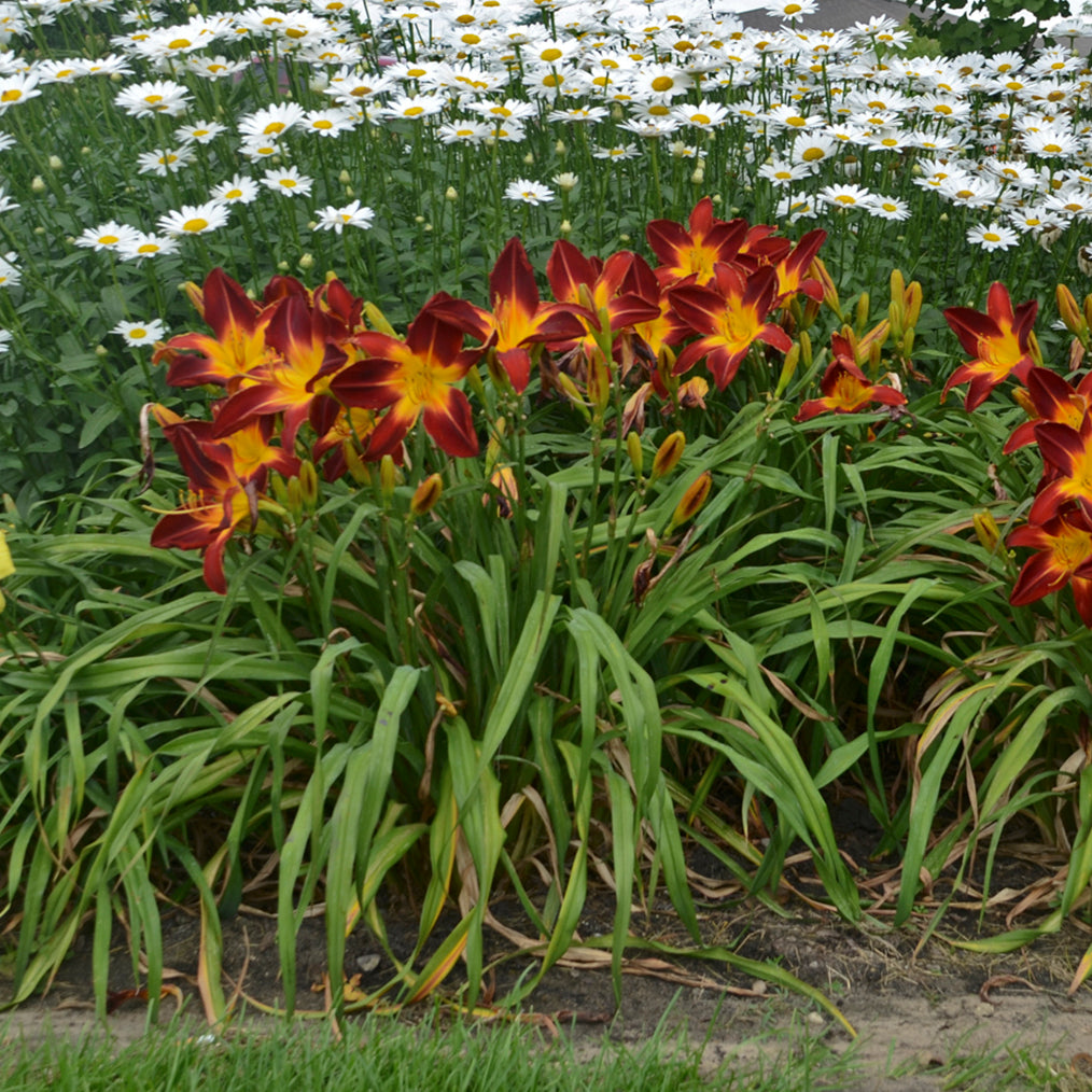 Hemerocallis Ruby Spider  Photo courtesy of Walters Gardens Inc.