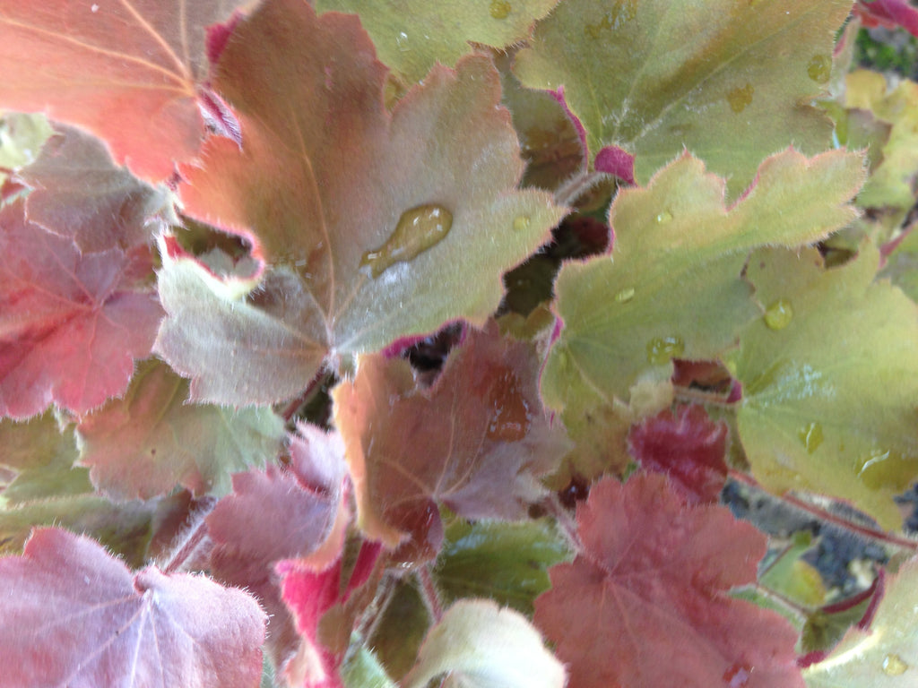 "Heuchera-Coral bells ""Caramel"", 1 gallon"
