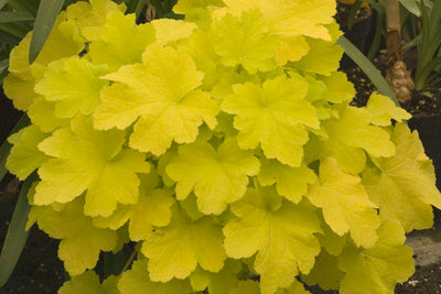 Citronelle Coral Bells Photo courtesy of Bailey Nurseries