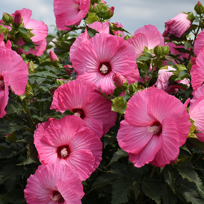 Hibiscus Airbrush Effect photo courtesy of Walters Gardens