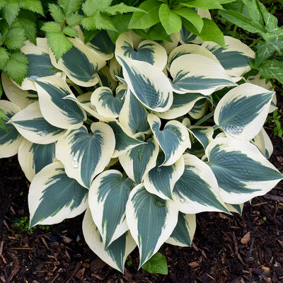 Hosta Blue Ivory Photo courtesy of Walters Gardens Inc.