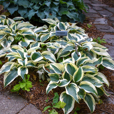 Hosta Blue Ivory Photo courtesy of Walters Gardens Inc