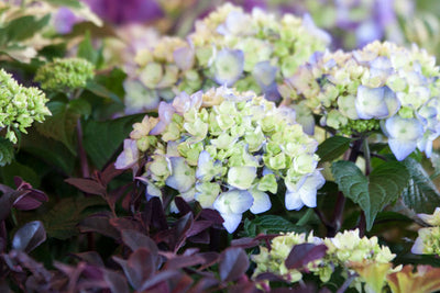 Bloomstruck Hydrangea photo courtesy of Bailey Nurseries