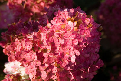 Hydrangea Vanilla Strawberry TF Photo courtesy of Bailey Nurseries
